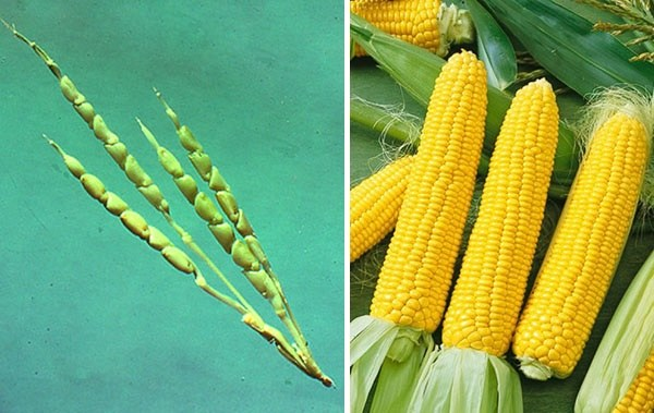 corn domestication Unlike nationalists who would like to see corn as originating in peru's soils or from when the fox dropped from heaven and its stomach burst giving people domesticated crops, bonavia accepts that corn was likely domesticated in mesoamerica.