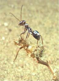 The Immobile Ants One By Or Wait For Them To Die Quickly From Natural Causes Due Being Scaled Up And Needing More Moisture Food Oxygen Etc