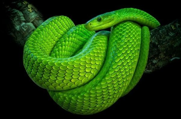 Are green snakes poisonous? - Quora