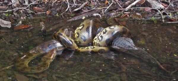 How powerful are anacondas? - Quora