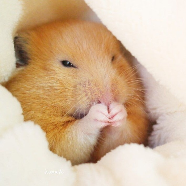 How to treat a hamster that has a swollen stomach - Quora
