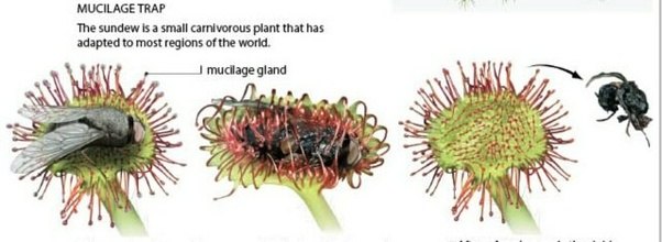 Why Are The Insectivorous Plants Called Partially Heterotrophs Quora