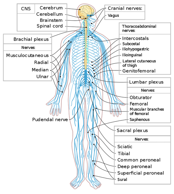 How Many Nerves Are There In The Human Body Quora