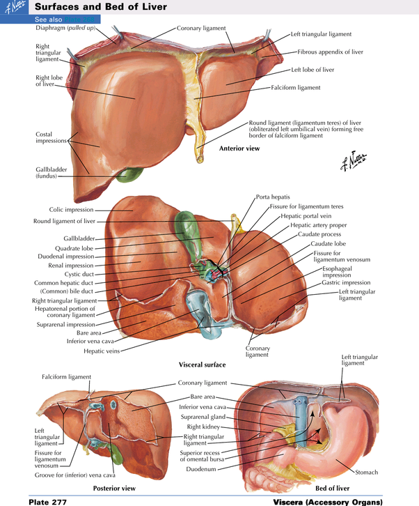 What organs are on the right side of your back quora ccuart Gallery