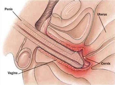 Penis penitration into the vagina suggest