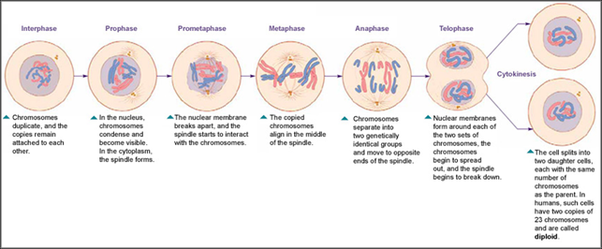 How does mitosis take place in animals quora mitosis somatic cell division diagram lifted from media1itannica article cell division and growth ccuart Image collections