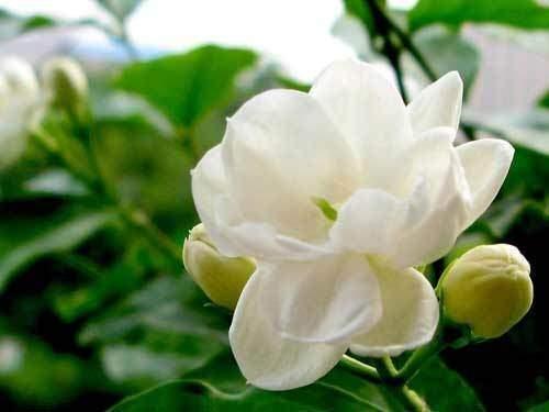 what color is jasmine quora