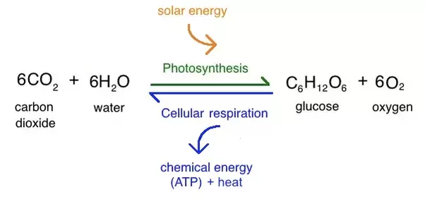 What is photosynthesis and where does it happens in parts of the this chemical energy is stored in carbohydrate molecules such as sugars which are synthesized from carbon dioxide and water hence the name ccuart Gallery