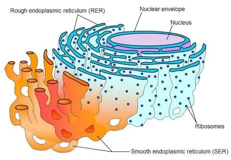 What is the function of the rough endoplasmic reticulum ... What Is Endoplasmic Reticulum