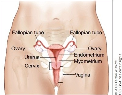 Is the uterus in the female body located in the groin? - Quora