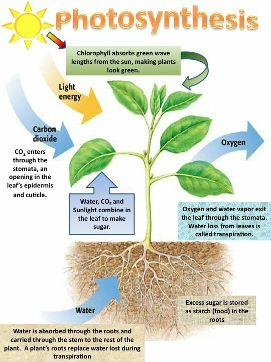 The Food Synthesized By Plants Is Stored As Quora