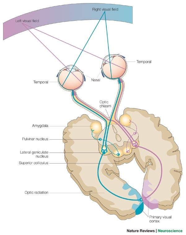 Contralateral Vs Ipsilateral Brain