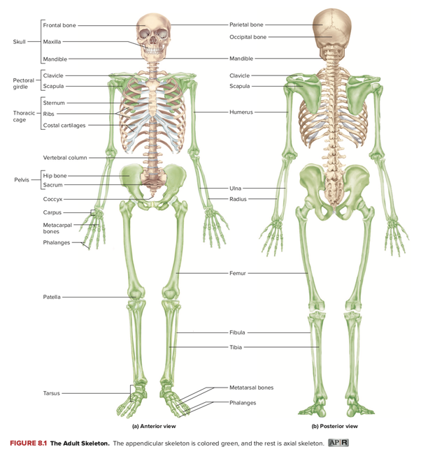 What Are The Parts Of The Axial Skeleton And Appendicular Skeleton