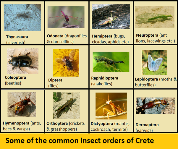 how many orders of insects are there  what are their names