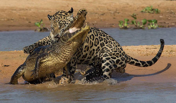 Wonderful This Attack On The Brain Or Top Of The Spine Immobilizes The Prey Very  Quickly, Making It Much Easier And Safer For The Jaguar To Take Down  Enormous Prey ...