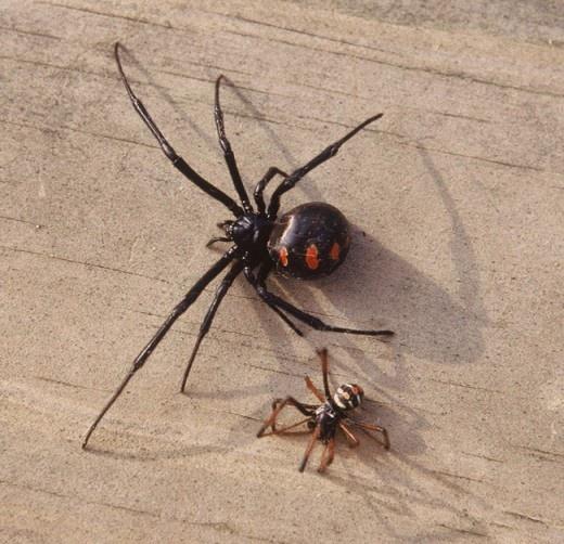 Masculine of widow