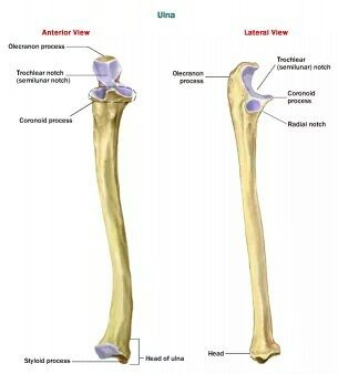 What is the function of the ulna bone? - Quora Ulna Bone