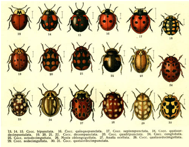 What Are The Black Ladybirds Quora