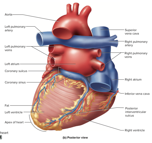 Mcgraw Hill Anatomy Diagram Human Heart Diy Enthusiasts Wiring