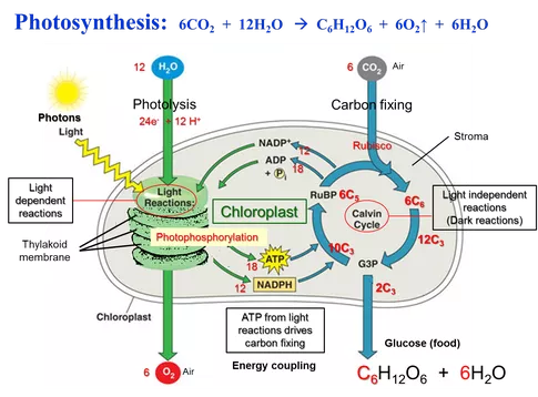 photosynthesis main functions cycle calvin structure respiration
