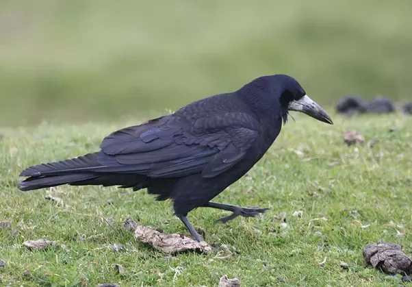 Bird Of Crow Family  Letters