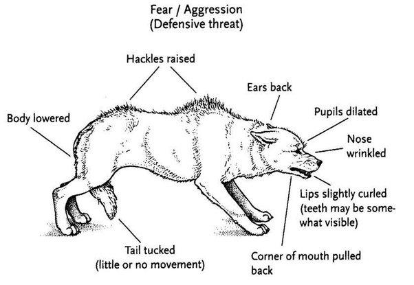 Körpersprache Wolf