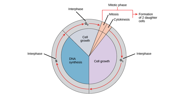 How To Describe The Cell Cycle And What Are The Two Main