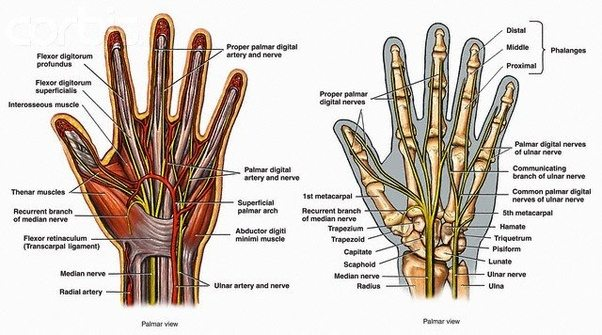 What peculiarities of the anatomy of hands should be taken into ...