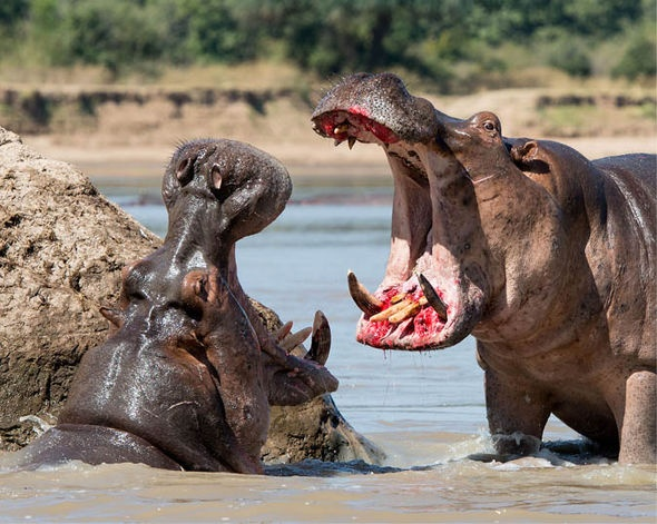 Humans Quite Bit From Source To Source Some Argues That Hippos Are The Most Dangerous Animals In Africa And Kill More People Than All The Other Animals Quora Why Do Crocodiles Not Attack Hippos Quora