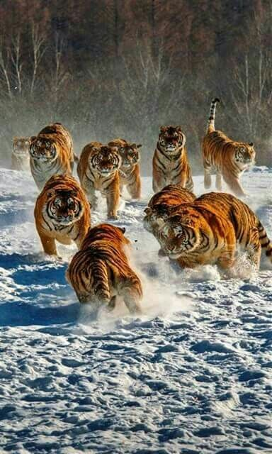 What Is A Group Of Tigers Called?