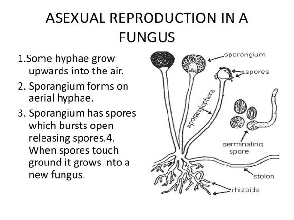 Different forms of asexual reproduction used by fungi to reproduce