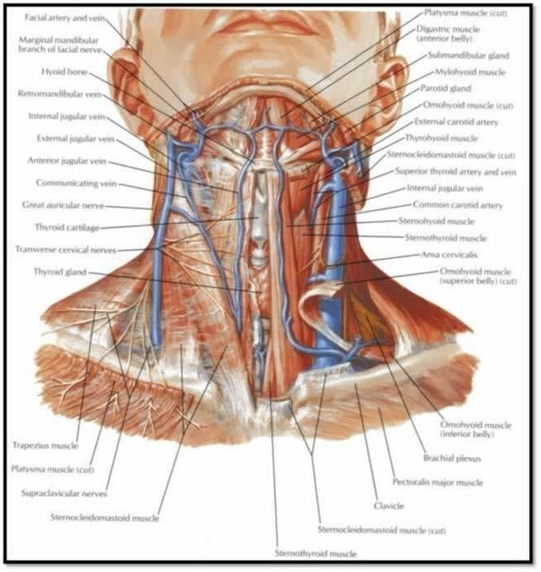 Where exact is the carotid artery located? - Quora