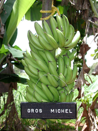 Where Can I Get A Gros Michel Banana Quora