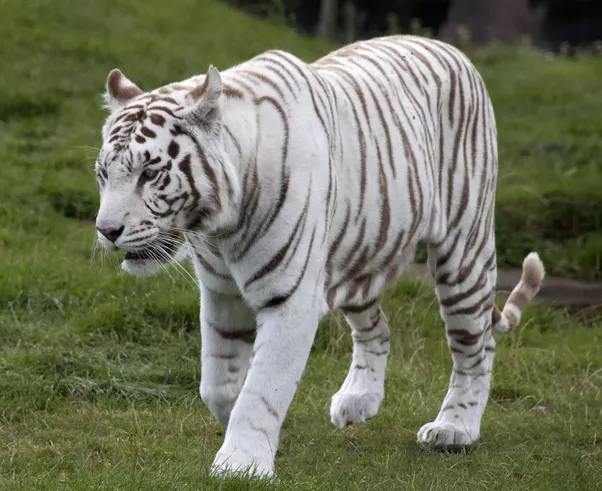 The White Tigers Are Not Albinos As They Retain Some Pigments In Their Fur But Lack Pigment Pheomelanin Which Gives Typical