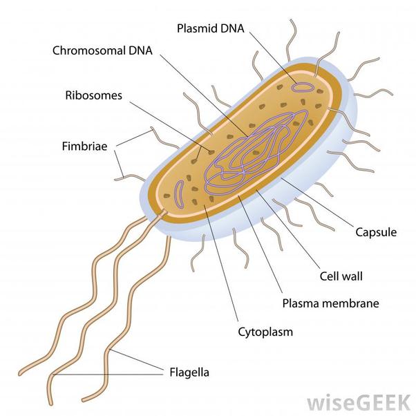 What are flagella   Quora