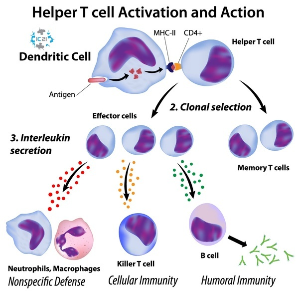 How Do Our Immune Cells Recognize Self And Nonself Quora