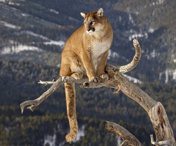 is mountain lion cougar panther puma catamount and painter all
