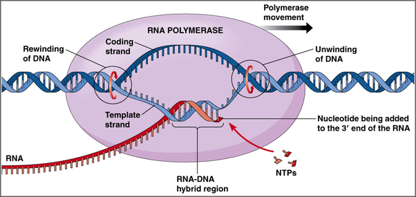 How is dna replication different from rna transcription quora replisome diagram dna polymerase dna replication image lifted from pathwayz article dna replication ccuart Images