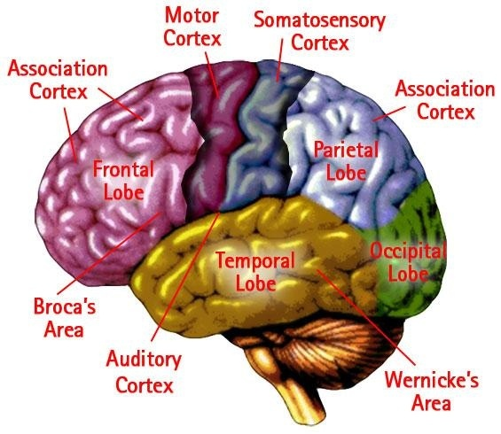 cortical death means the cerebral cortex ie cerebrum has been destroyed in a human brain it is the end of days