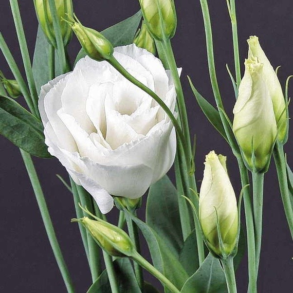 What white flowers with five petals have swirled buds and pale green sounds to me like youre describing white lisianthus the second picture is of a variety whose blooms have more than five petals but offers a better view mightylinksfo