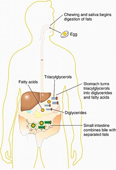 two enzymes found in the stomach