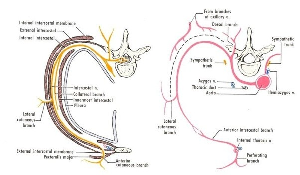 What Is The Difference Between External And Internal Intercostal