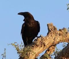 Why are crows referred to as our ancestors in Hinduism? - Quora