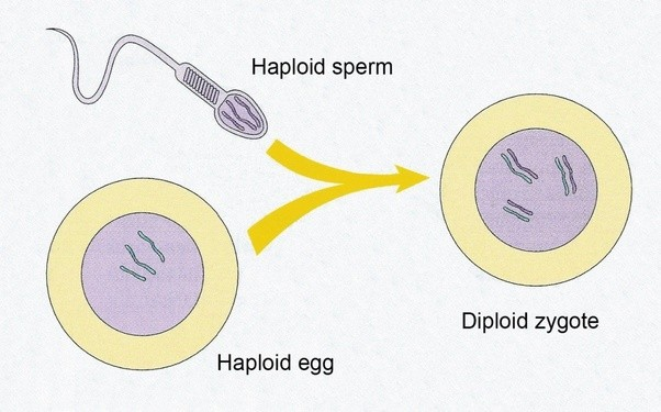 haploid and diploid relationship quizzes