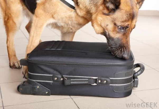 Can sniffer dogs smell drugs in your anus? - Quora