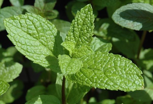 Dicotyledon | plant | britannica. Com.