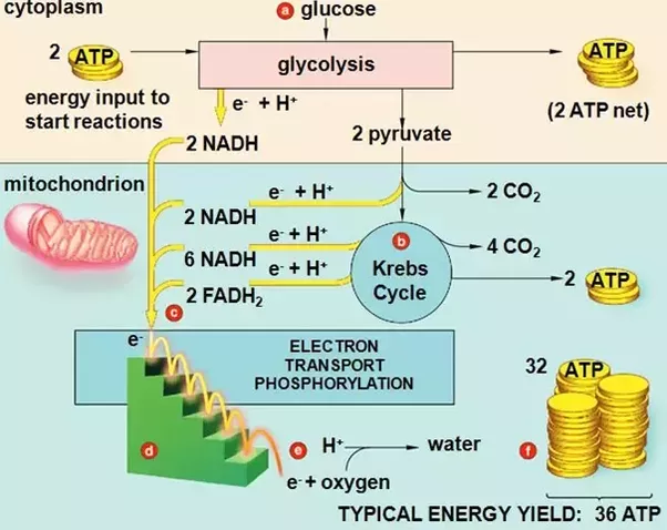 How 36 atp are formed in aerobic respiration quora aerobic respiration products infograph lifted from smasheywordpress page biology class page 8 ccuart Choice Image