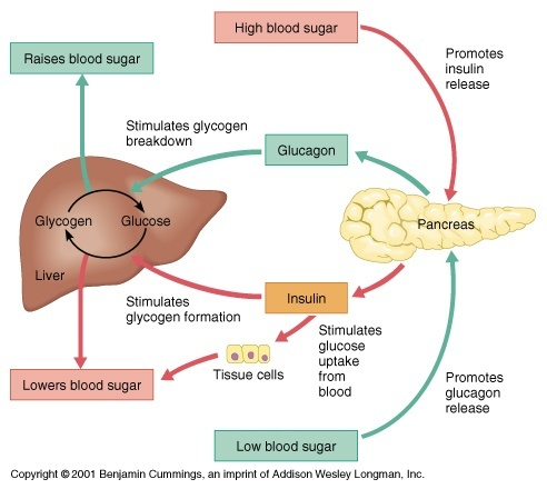 relationship between insulin and glucose in regulating sugar levels the body