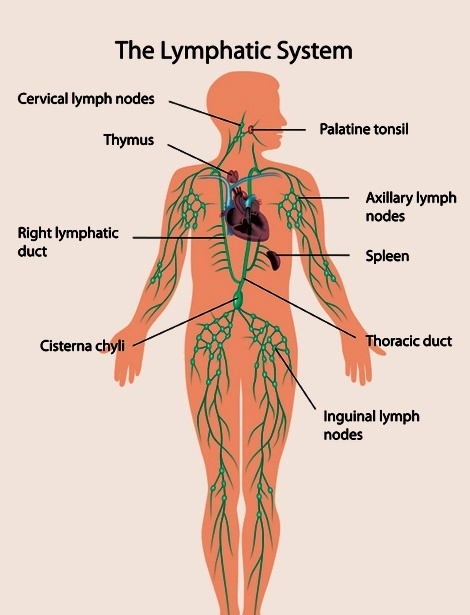 How does the circulatory and immune system differ? - Quora