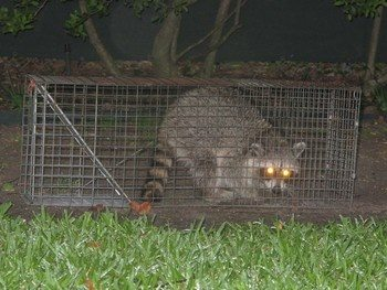 How to keep raccoons out of my yard - Quora